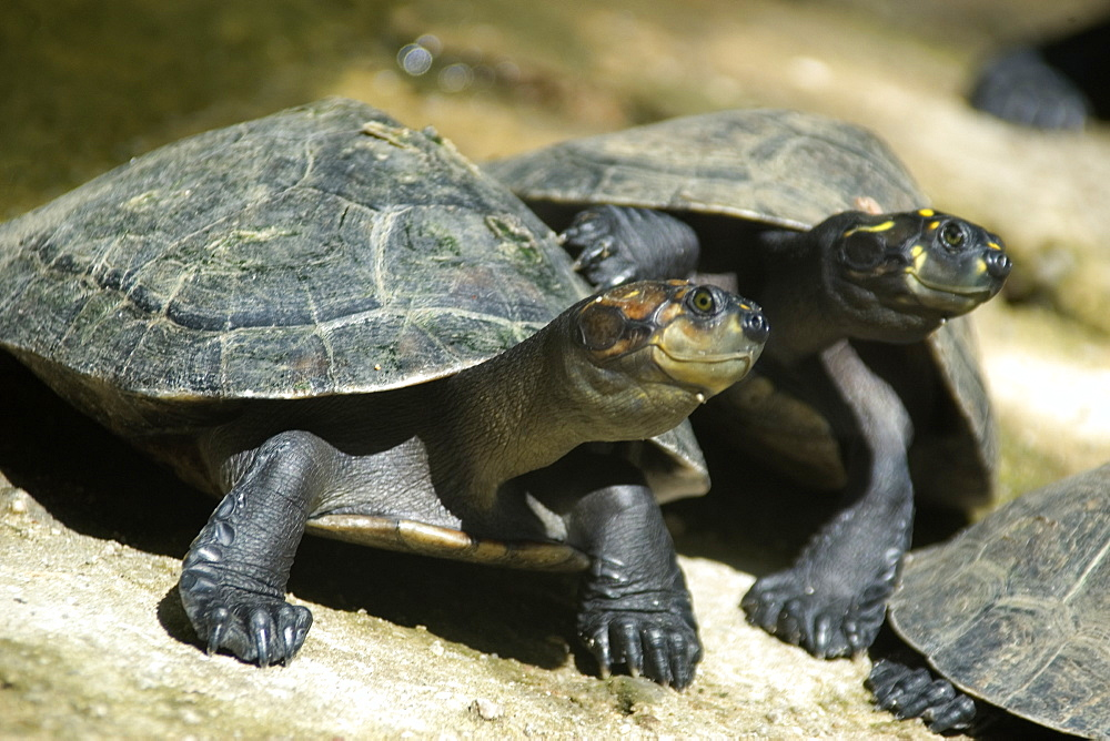 Yellow-spotted amazon river turtle (Podocnemis unifilis), Manaus, Amazonas, Brazil, South America
