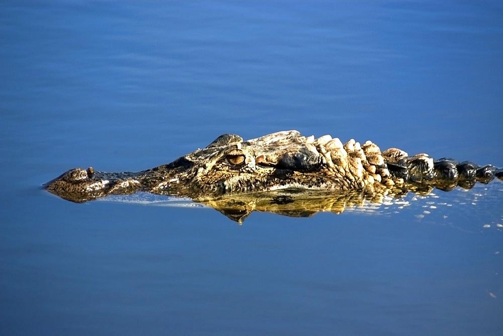Black caiman (Melanosuchus niger), lurks in the water,  Mamiraua sustainable development reserve, Amazonas, Brazil, South America