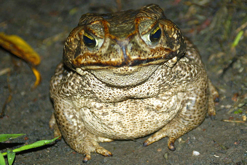 Cururu toad (Bufo paracnemis) at night, southern Pantanal, Mato Grosso do Sul, Brazil, South America