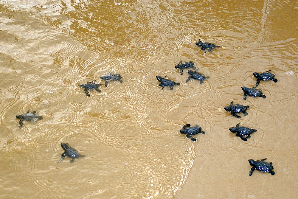 Olive ridley turtle hatchlings (Lepidochelys olivacea) heading towards the ocean for the first time, Costa do Sauipe, Bahia, Brazil, South America