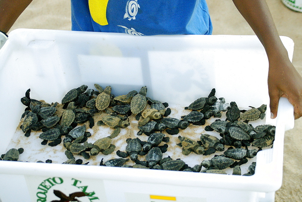 Bin with loggerhead turtle (Caretta caretta) hatchlings is displayed prior to release into the ocean, Center for sea turtle protection, TAMAR project, Praia do Forte, Bahia, Brazil, South America