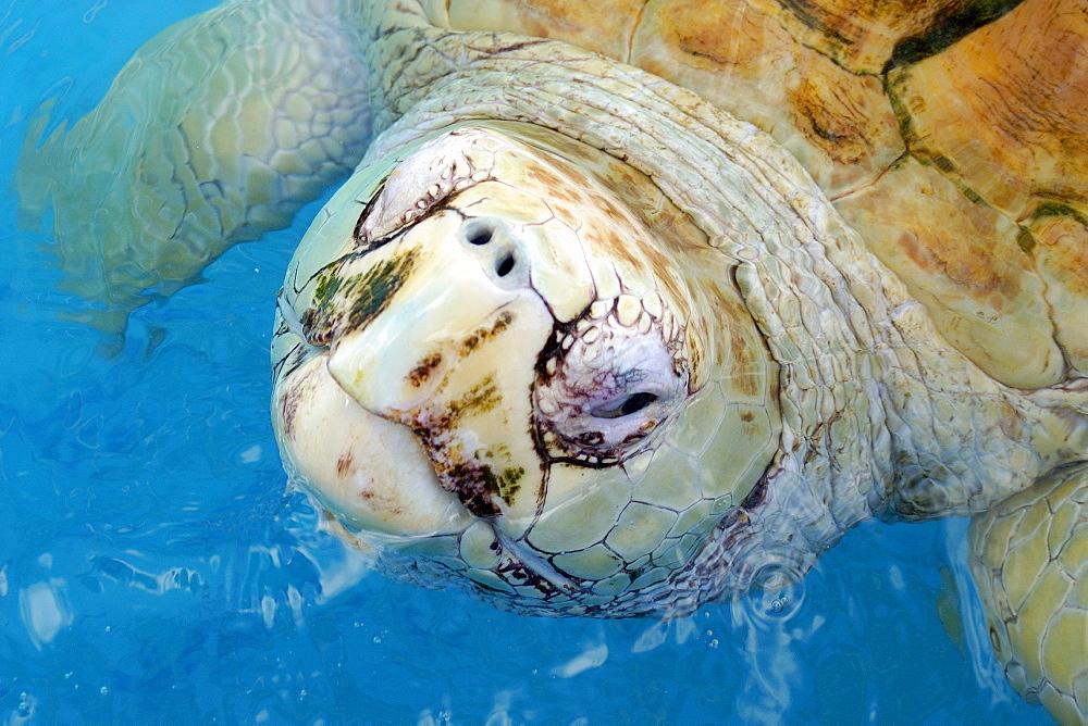 Rare albino loggerhead turtle (Caretta caretta) breathing, Center for sea turtle protection, TAMAR project, Praia do Forte, Bahia, Brazil, South America