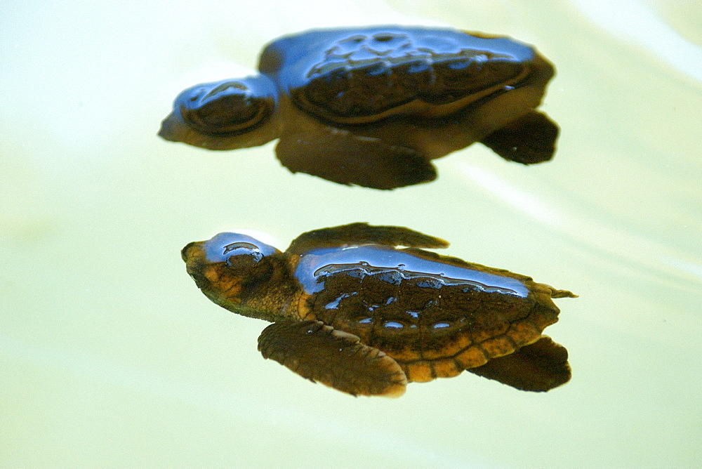 Loggerhead turtle (Caretta caretta) hatchlings, Center for sea turtle protection, TAMAR project, Arembepe, Bahia, Brazil, South America - 920-1924