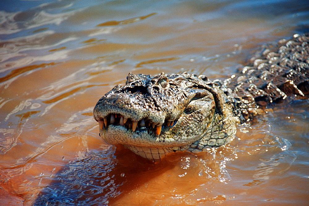 Alligator (Caiman yacare), Bonito, Mato Grosso do Sul, Brazil, South America