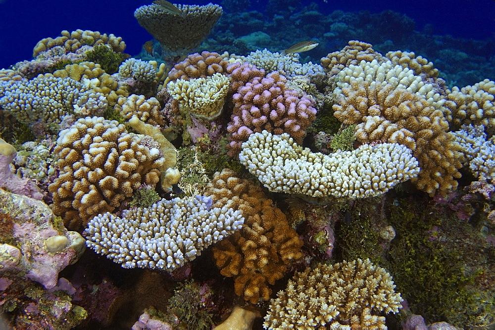 Cauliflower coral (Pocillopora spp.), Namu atoll, Marshall Islands, Pacific