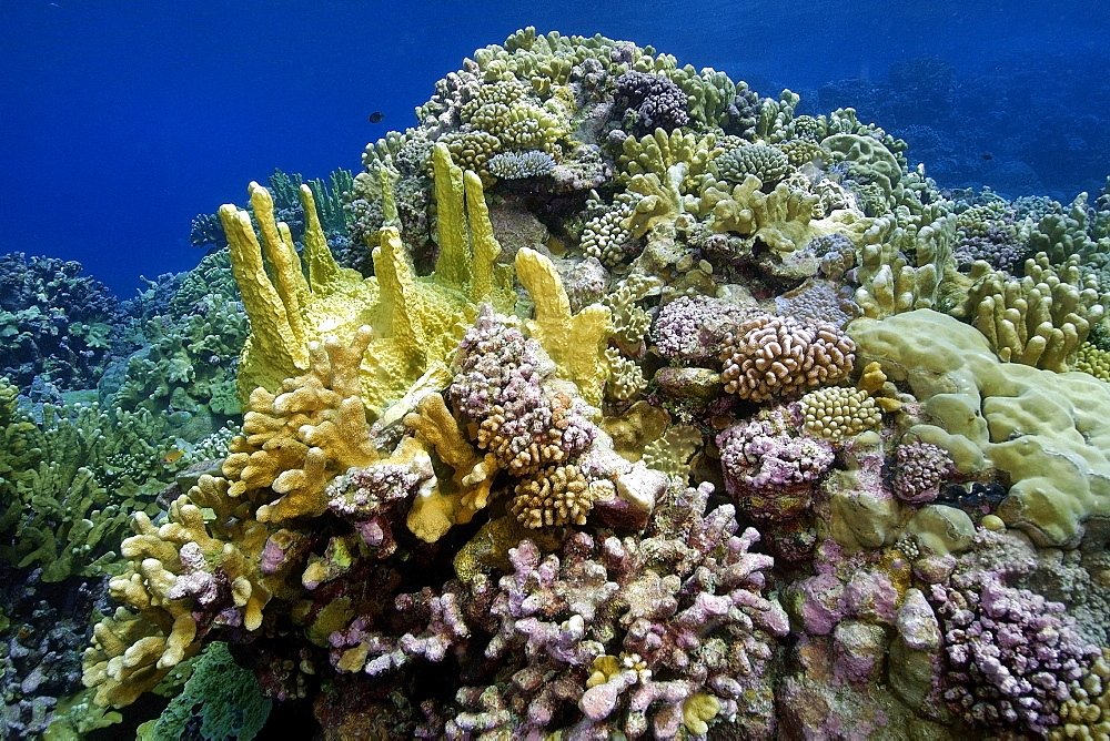 Highly diverse coral reef, mainly fire coral (Millepora platyphylla) and cauliflower coral (Pocillopora meandrina), Namu atoll, Marshall Islands, Pacific