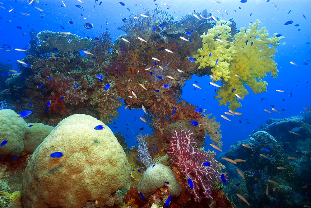 Large diversity of soft and hard corals growing over the external structure of the Shinkoku Maru, Truk lagoon, Chuuk, Federated States of Micronesia, Caroline Islands, Micronesia, Pacific Ocean, Pacific