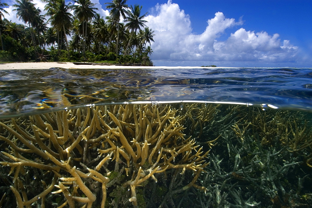 Split image of staghorn coral (Acropora sp.) and island, Truk lagoon, Chuuk, Federated States of Micronesia, Caroline Islands, Micronesia, Pacific Ocean, Pacific