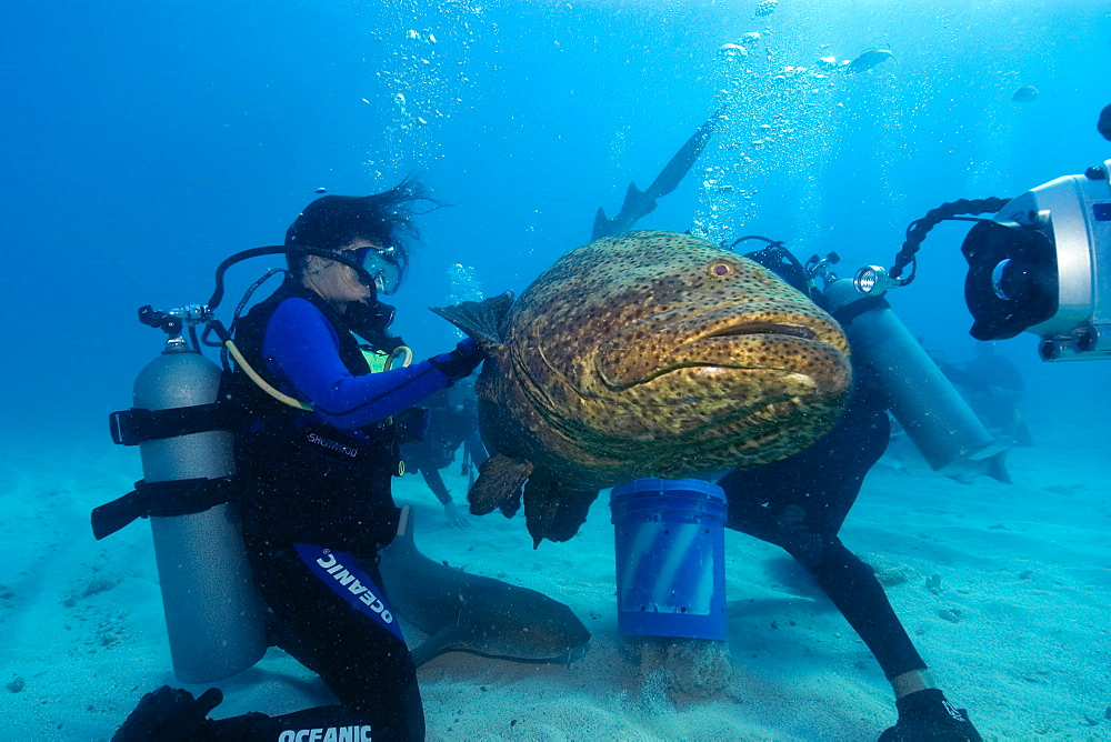 Goliath grouper (Epinephelus itajara) next to video camera,  Molasses Reef, Key Largo, Florida, United States of America, North America