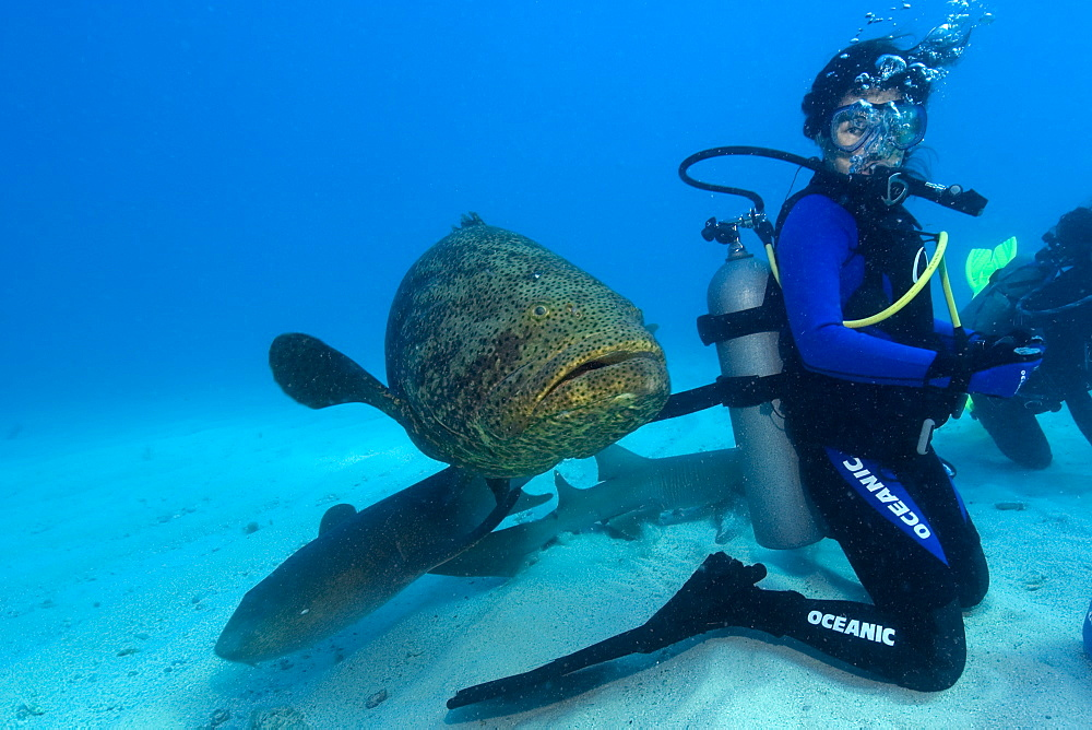 Goliath grouper (Epinephelus itajara) and Nurse sharks approach a diver from behind, Molasses Reef, Key Largo, Florida, United States of America, North America