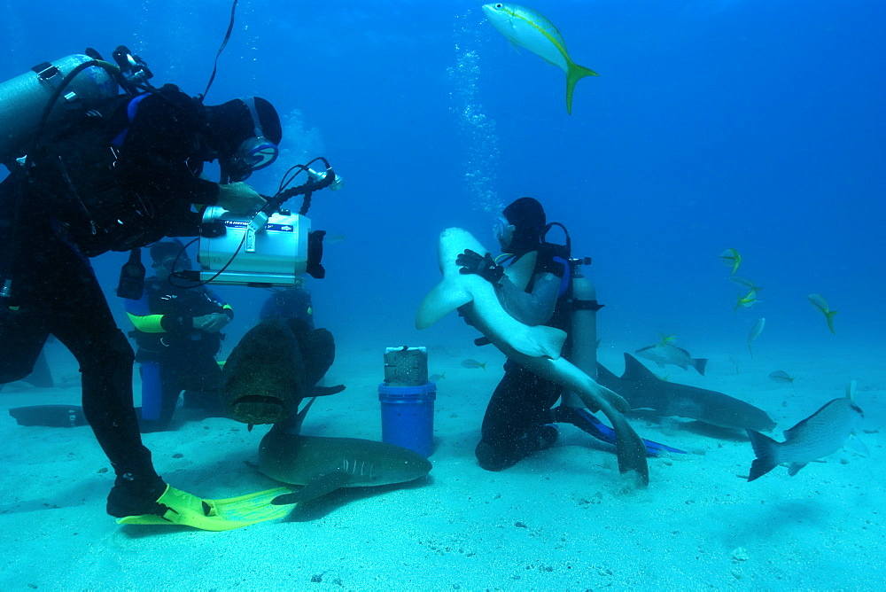 Divers play with and film Nurse sharks (Ginglymostoma cirratum) and a Goliath grouper (Epinephelus itajara), Molasses Reef, Key Largo, Florida, United States of America, North America