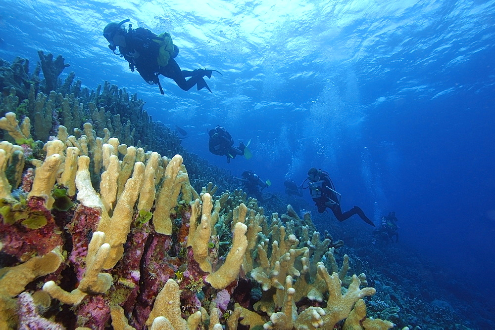 Survey divers on ascent over coral reef, mainly Acropora palifera, Namu atoll, Marshall Islands, Pacific