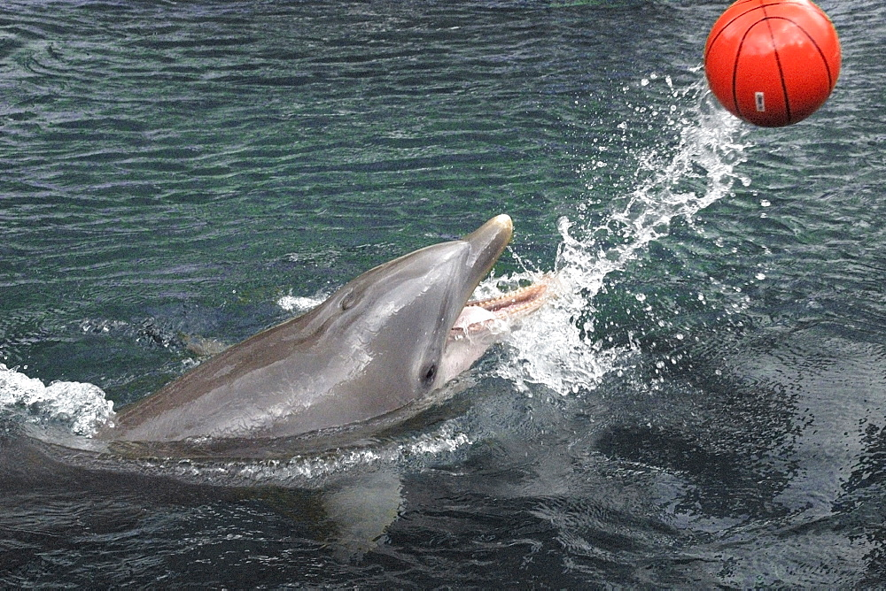 Bottlenose dolphin (Tursiops truncatus) playing with ball, Hawaii, United States of America, Pacific