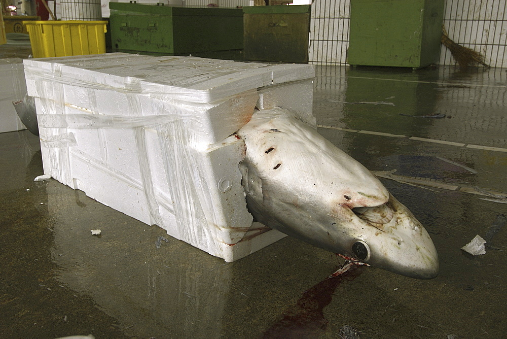 Thresher shark (Alopias sp.) packed for shipment, Nanfang'ao fish market, Suao, Taipei, Taiwan, Asia - 920-2128