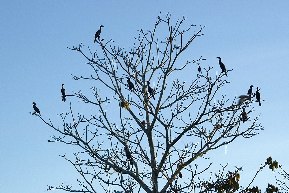 Silhouette of birds on dried tree, Mamiraua sustainable development reserve, Amazonas, Brazil, South America