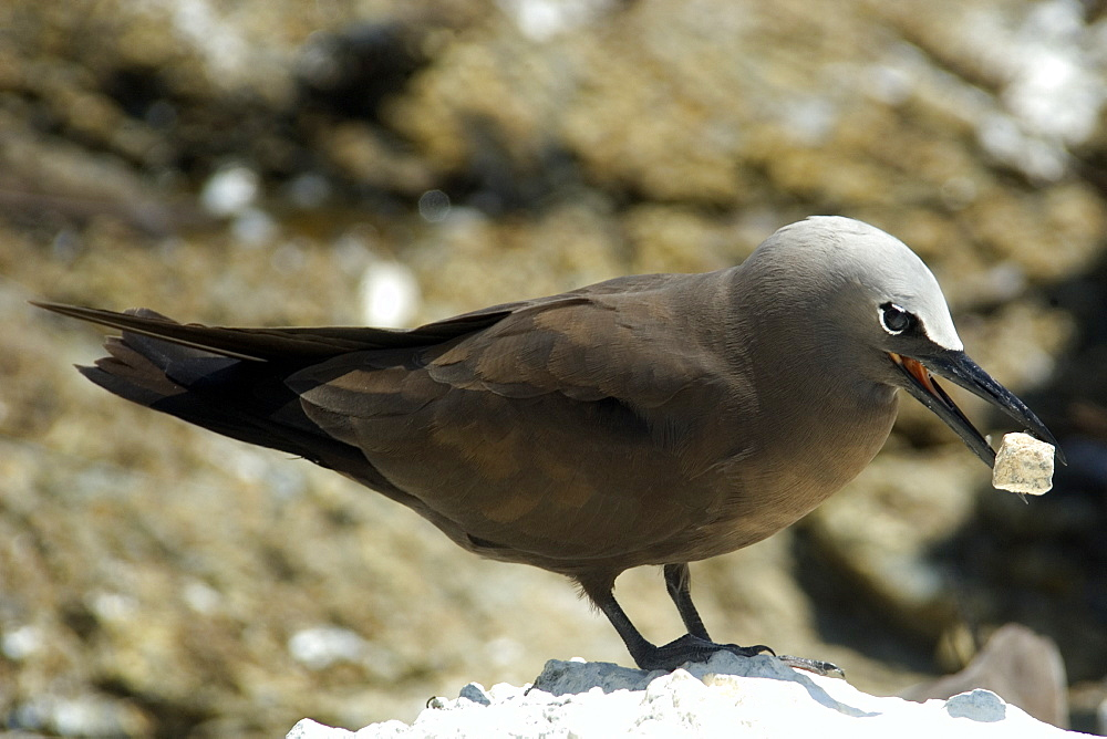 Brown noddy (Anous stolidus), picking up rock, St. Peter and St. Paul's rocks, Brazil, South America