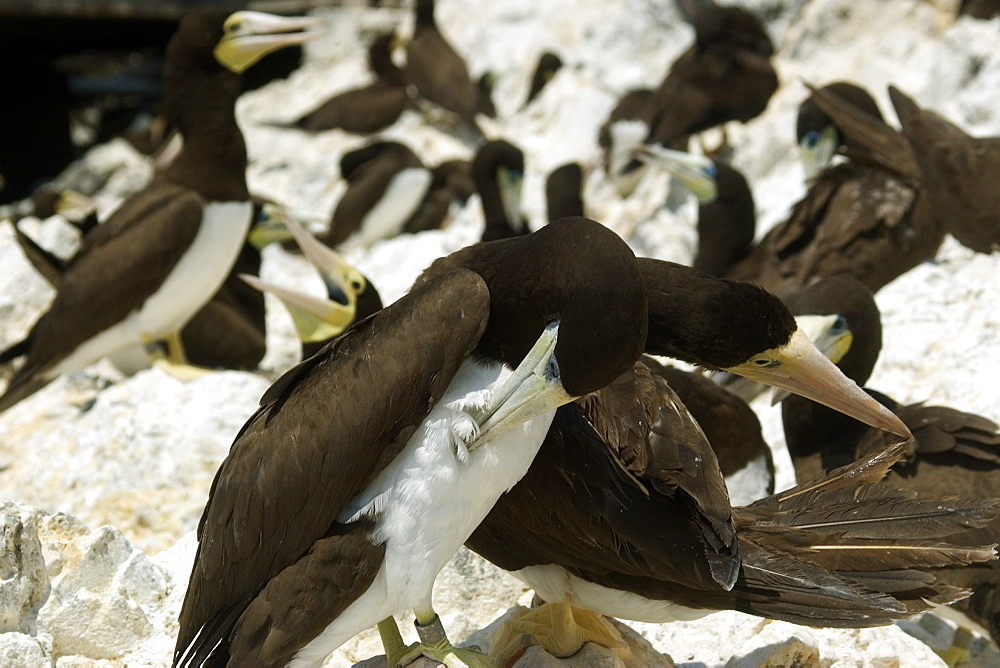 Brown booby (Sula leucogaster), scratching at rookery, St. Peter and St. Paul's rocks, Brazil, South America