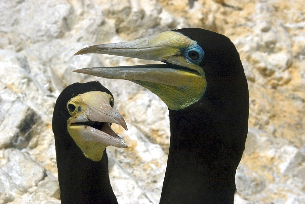 Couple of brown booby (Sula leucogaster) displaying cooling behavior, St. Peter and St. Paul's rocks, Brazil, South America