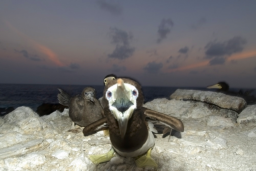 Angry Brown booby (Sula leucogaster) protecting nest, St. Peter and St. Paul's rocks, Brazil, South America