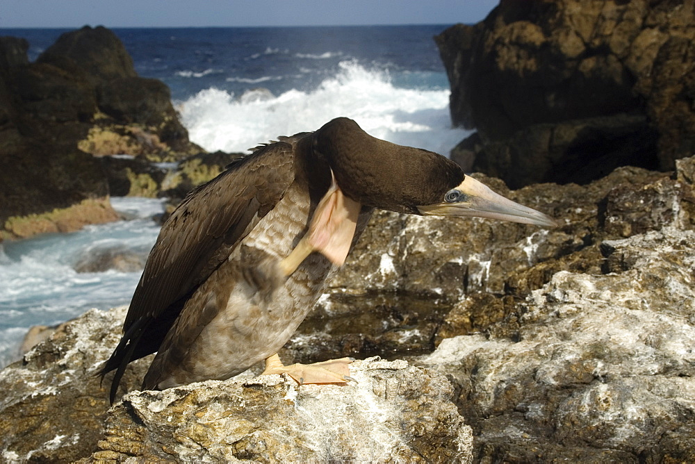 Brown booby (Sula leucogaster) scratching head, St. Peter and St. Paul's rocks, Brazil, South America