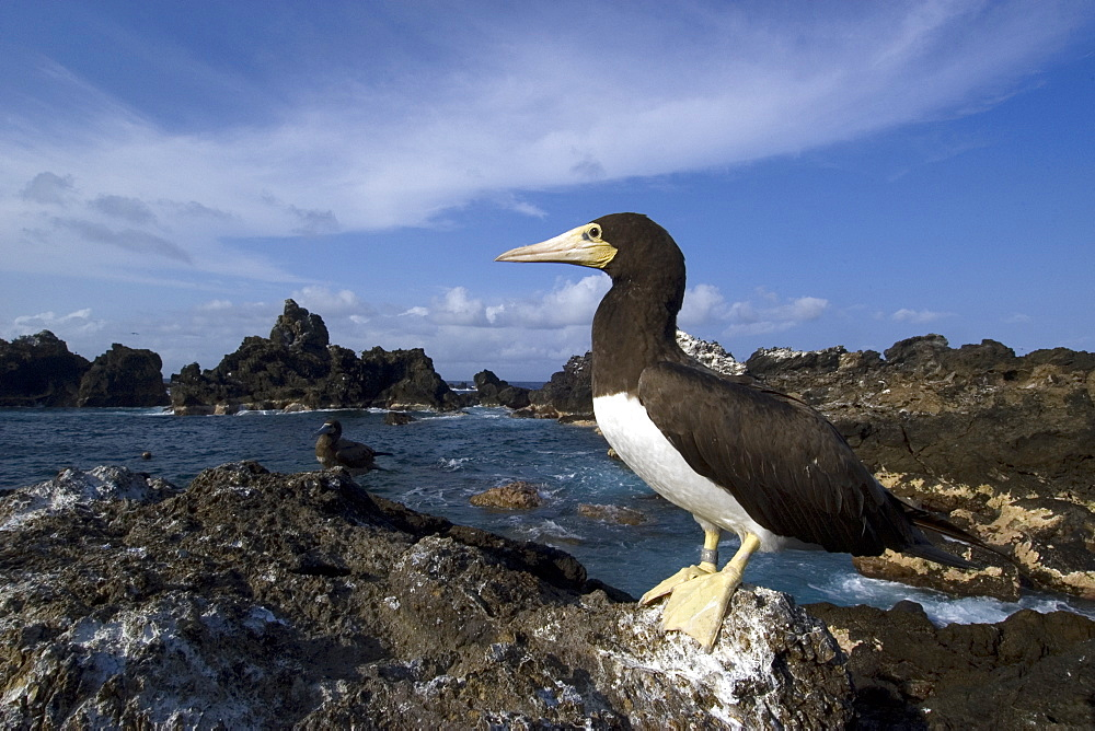 Brown booby (Sula leucogaster), St. Peter and St. Paul's rocks, Brazil, South America