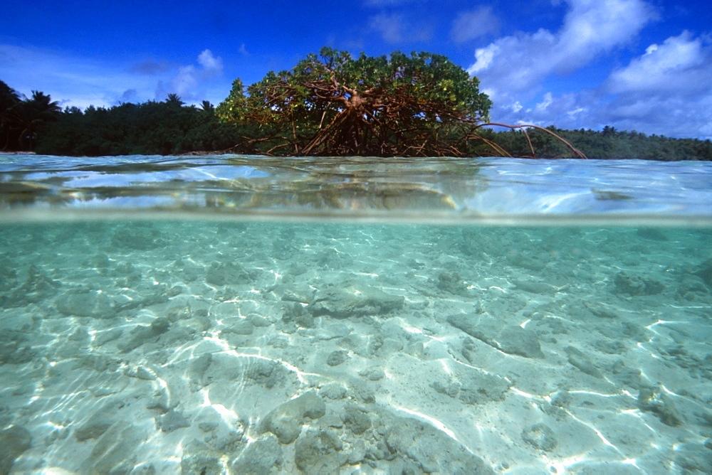 Mangrove tree at Rigeeshi Island, Mili, Marshall Islands, Pacific