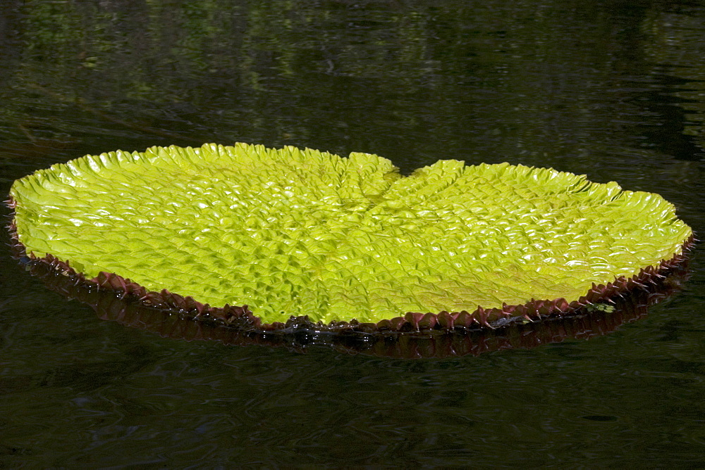 Wild Victoria regia (waterlily) (Victoria amazonica), the largest of all lilies, Mamiraua sustainable development reserve, Amazonas, Brazil, South America