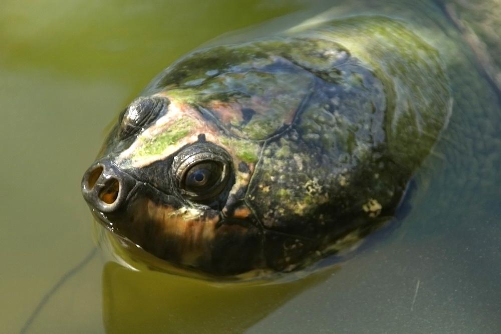 Giant amazon river turtle (Podocnemis expansa), Manaus, Amazonas, Brazil, South America