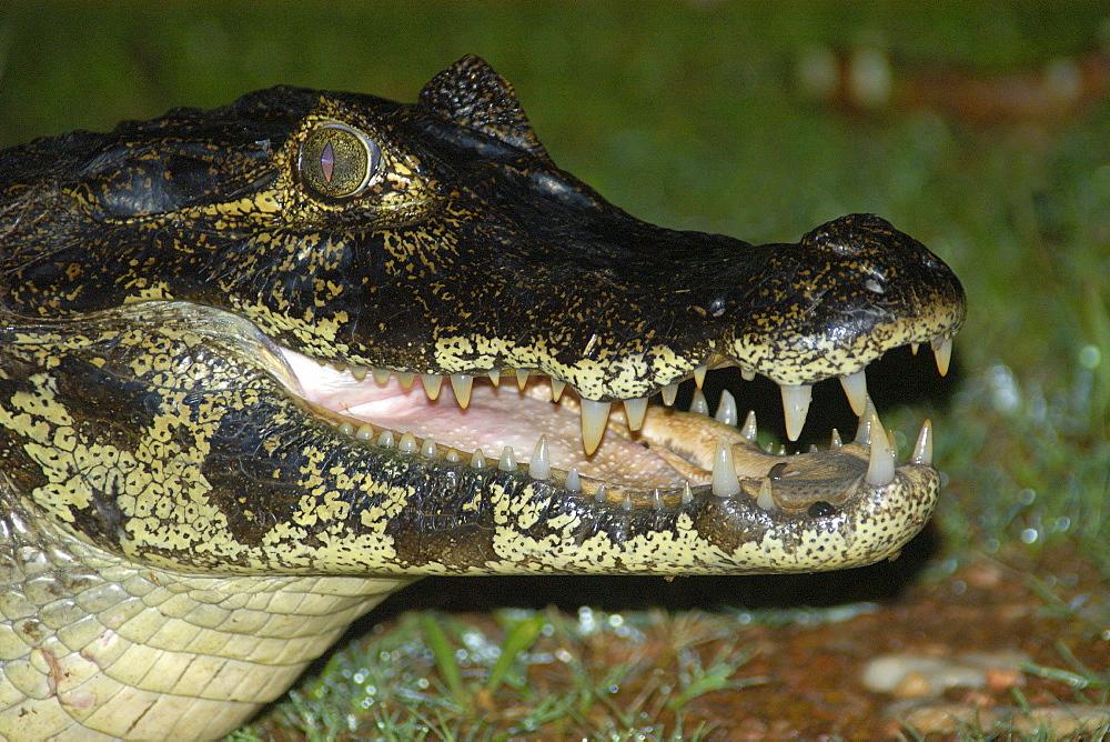 Caiman (jacare) (Caiman crocodilus yacare) at night, southern Pantanal, Mato Grosso do Sul, Brazil, South America