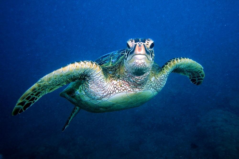 Green sea turtle (Chelonia mydas), Hanauma bay, Oahu,  Hawaii, United States of America, Pacific