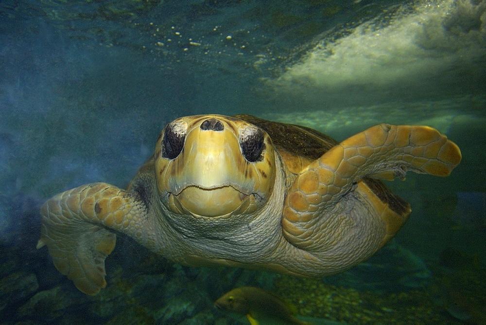 Green sea turtle (Chelonia mydas) head detail, Kailua-Kona, Hawaii, United States of America, Pacific