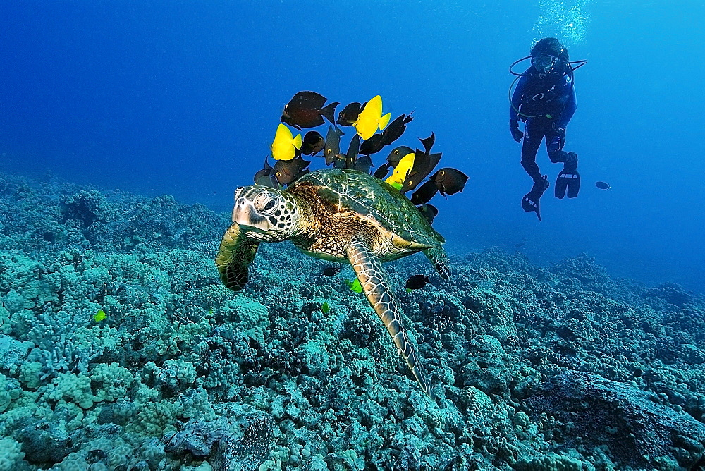 Diver observes green sea turtle (Chelonia mydas) gets cleaned by yellow tangs (Zebrasoma flavescens) and lined bristletooth (Ctenochaetus striatus), Kailua-Kona, Hawaii, United States of America, Pacific