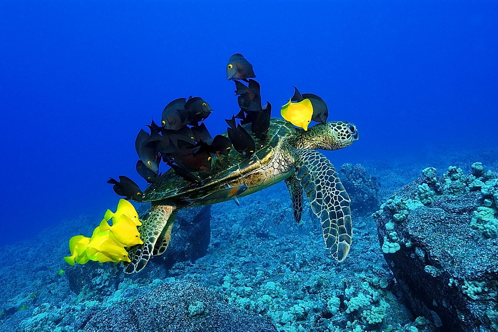 Green sea turtle (Chelonia mydas) gets cleaned by yellow tangs (Zebrasoma flavescens) and lined bristletooth (Ctenochaetus striatus), Kailua-Kona, Hawaii, United States of America, Pacific