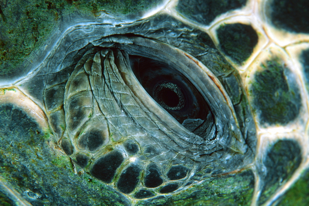 Eye detail, green sea turtle (Chelonia mydas), Kailua-Kona, Hawaii, United States of America, Pacific - 920-2295