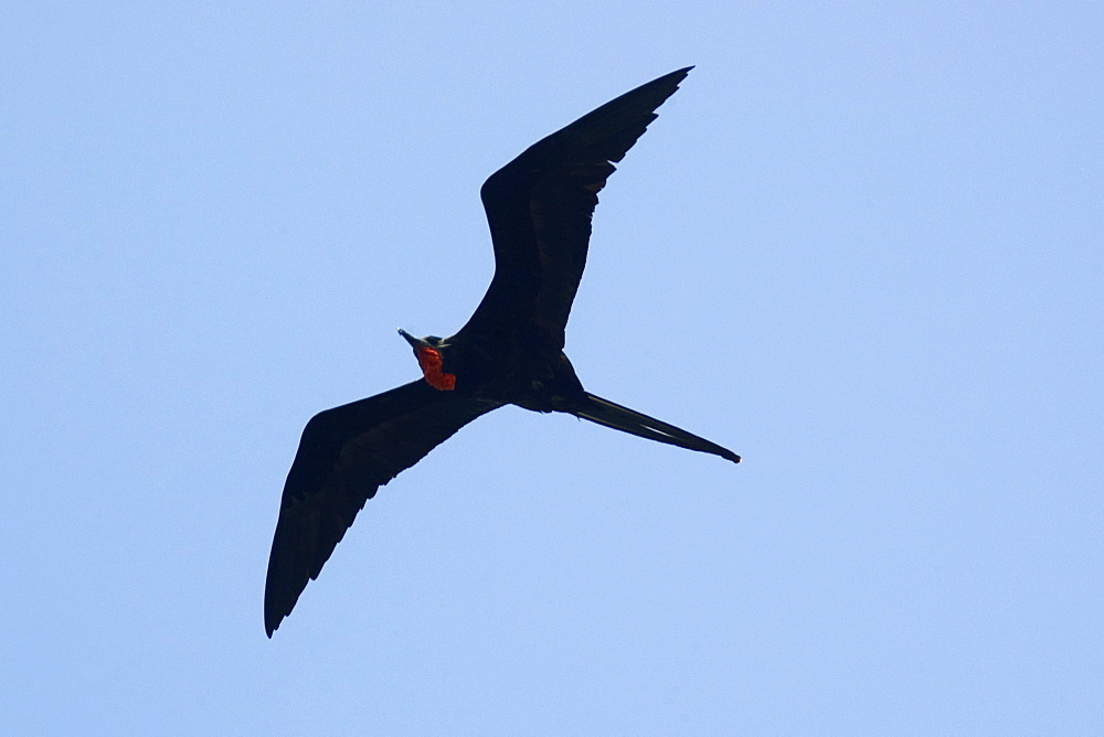 Magnificent frigate bird (Fregata magnificens) flying, Fernando de Noronha, Pernambuco, Brazil, South America