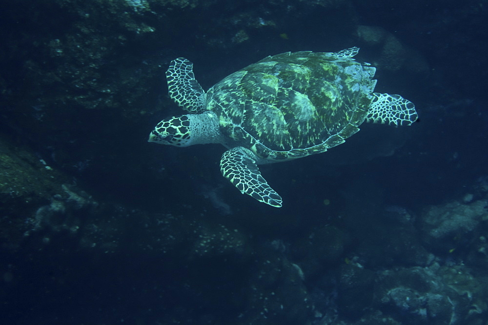 Hawksbill turtle (Eretmochelys imbricata). St. Peter and St. Paul's rocks, Brazil, South America