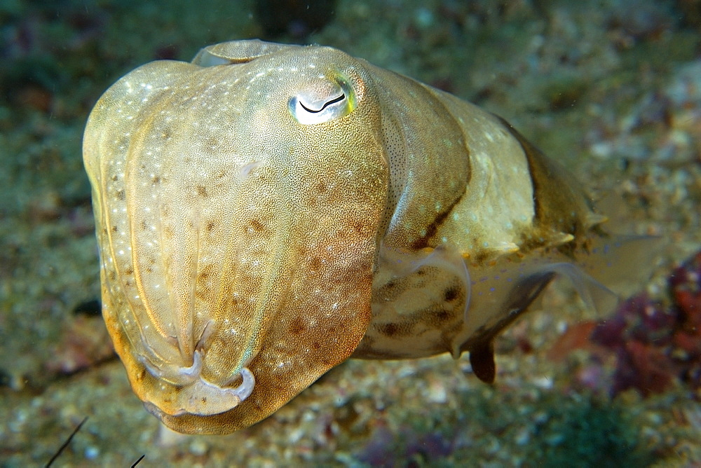 Broadband cuttlefish (Sepia latimanus) in sandy bottom, Gato Island, Cebu, Philippines, Southeast Asia, Asia