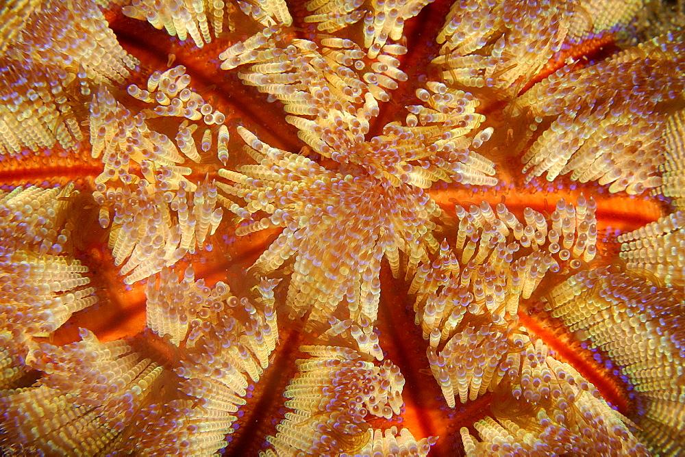 Fire urchin (Asthenosoma varium), Sinandigan wall, Puerto Galera, Mindoro, Philippines, Southeast Asia, Asia