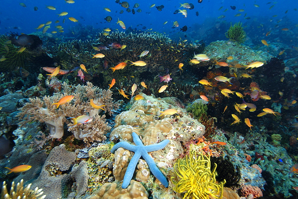 A multitude of sponges, tunicates, feather stars, sea stars, soft and hard corals as well as fish co-exist harmoniously in the reefs at Cogon, Apo Island marine reserve, Philippines, Visayan sea, Southeast Asia, Asia