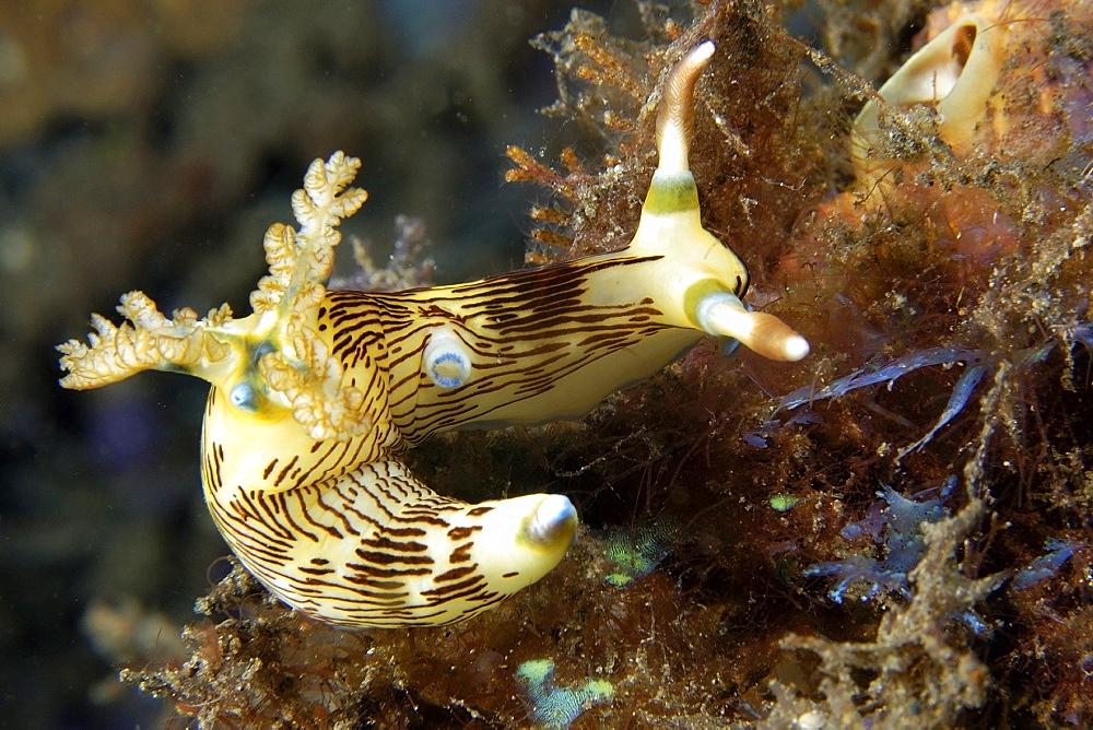 Lined nembrotha (Nembrotha lineolata), Atlantis house reef, Dumaguete, Negros Island, Philippines, Southeast Asia, Asia