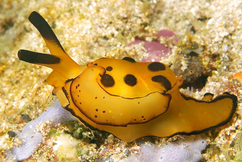 Pleurobranch sidegill slug (Berthella martensi), Puerto Galera, Mindoro, Philippines, Southeast Asia, Asia