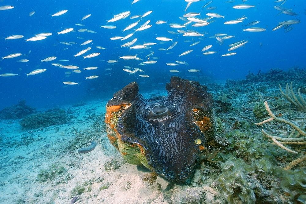 Giant clam (Tridacna gigas), Rongelap, Marshall Islands, Micronesia, Pacific