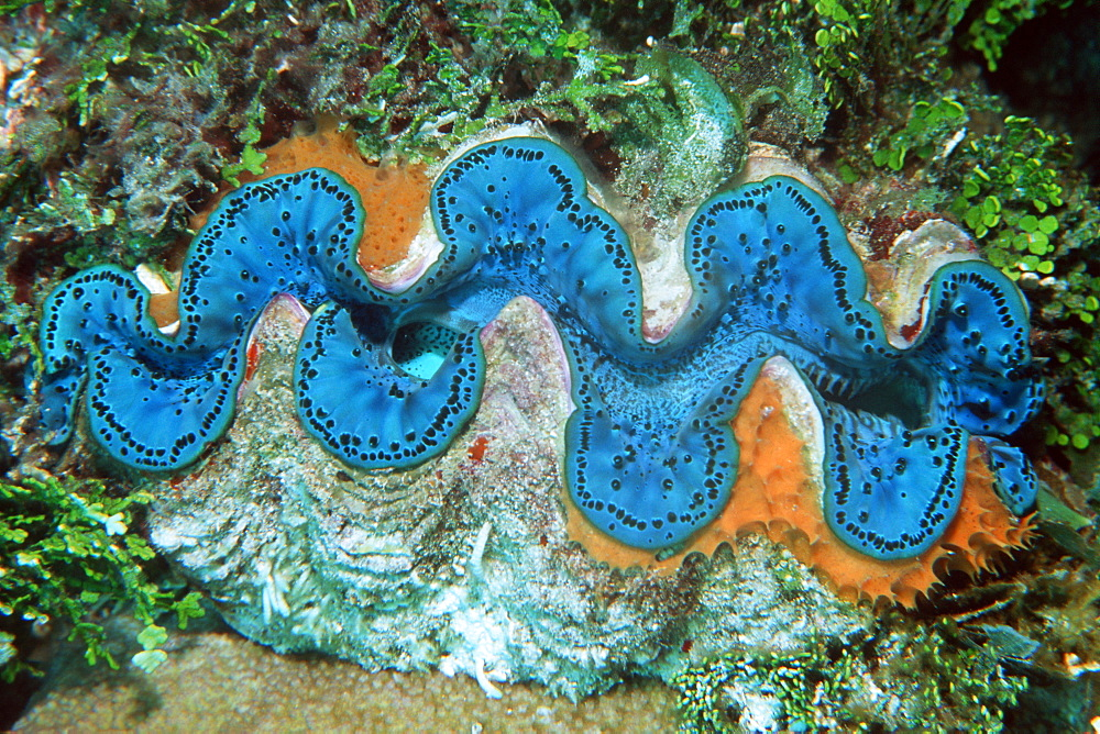Giant clam (Tridacna maxima) with encrusting sponge, Rongelap, Marshall Islands, Pacific