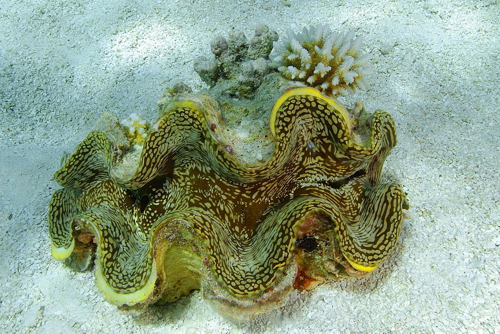 Giant fluted clam (Tridacna squamosa) on sandy bottom, Namu atoll, Marshall Islands, Pacific
