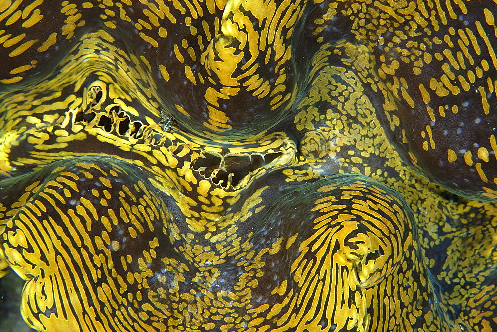 Fluted giant clam (Tridacna squamosa) mantle detail, Namu Atoll, Marshall Islands, Micronesia, Pacific