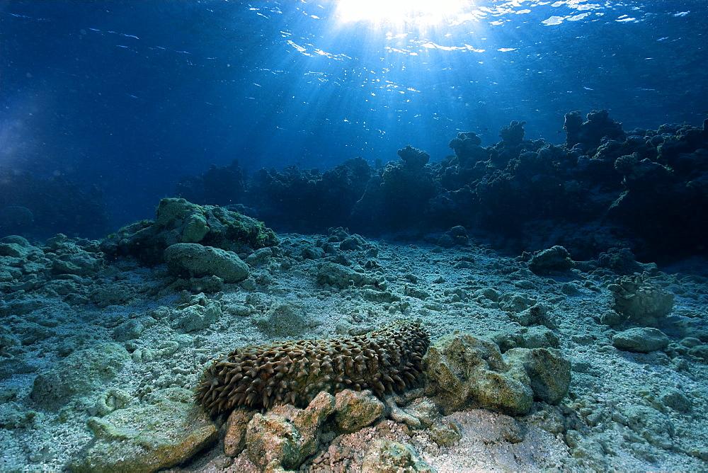 Giant sea cucumber (Thelenota ananas) on sandy bottom,  Ailuk atoll, Marshall Islands, Pacific