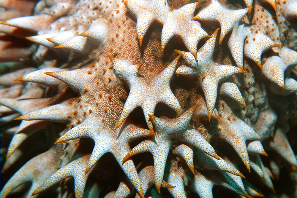 Giant sea cucumber (Thelenota ananas), detail, Rongelap,  Marshall Islands, Pacific