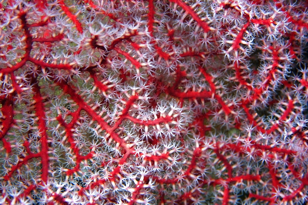 Gorgonian soft coral close-up, Rongelap, Marshall Islands, Micronesia, Pacific - 920-2386