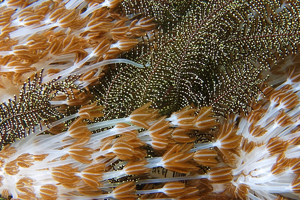Flower soft coral (Xenia sp.), and feather star, Gato Island, Cebu, Philippines, Southeast Asia, Asia