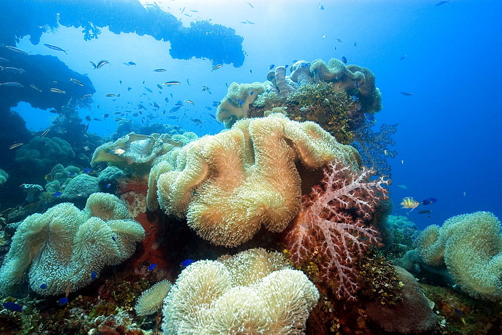 Soft corals (Sarcophytum sp. and Dendronephthya sp.) and main gun of the Fujikawa Maru, Truk lagoon, Chuuk, Federated States of Micronesia, Caroline Islands, Micronesia, Pacific Ocean, Pacific